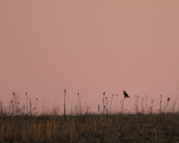 Short-eared owl at sunset<br /> <br /> Carroll County, Maryland<br /> January 2012