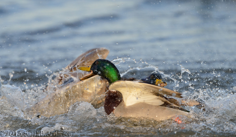 Duck fight (4th photo in series)<br /> Cambridge, Dorchester County, MD<br /> December 2013