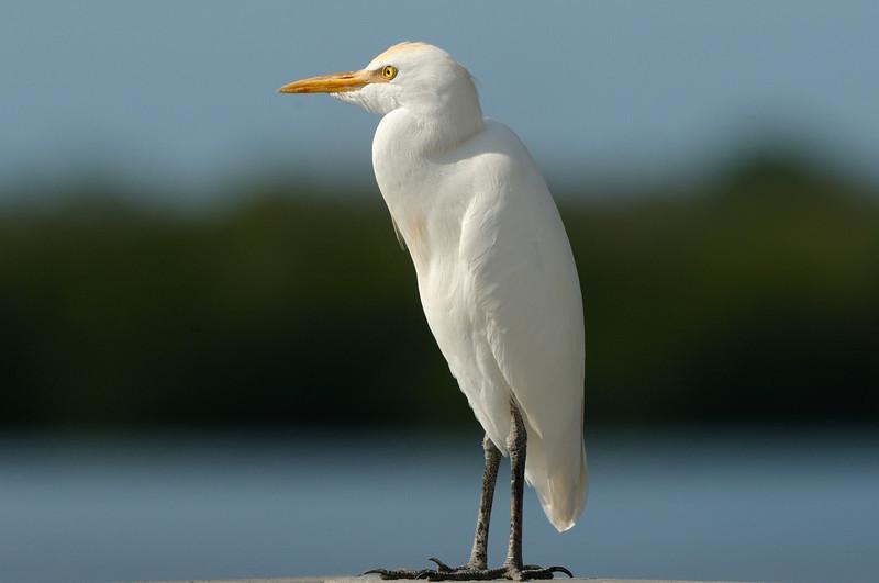 Cattle Egret<br /> <br /> Ding Darling NWR, Florida<br /> December 2012