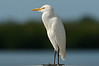 Cattle Egret<br /> <br /> Ding Darling NWR, Florida<br /> December 2012