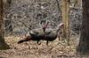 two anxious-looking male Wild Turkeys<br /> <br /> West Oshtemo, Kalamazoo County, Michigan<br /> April 2009