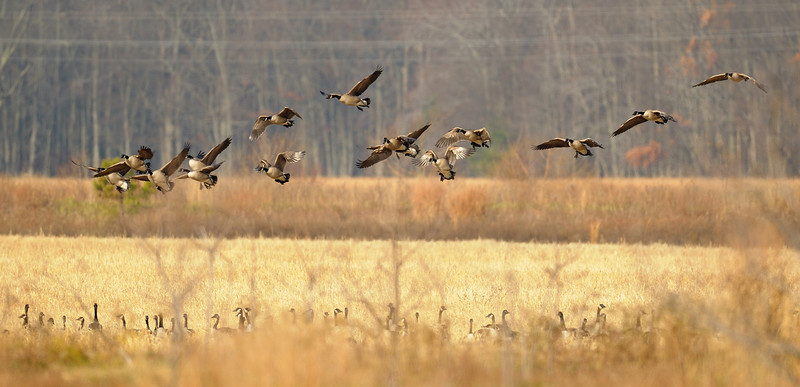Incoming Canada Geese<br /> Blackwater NWR, Maryland<br /> <br /> December 2011