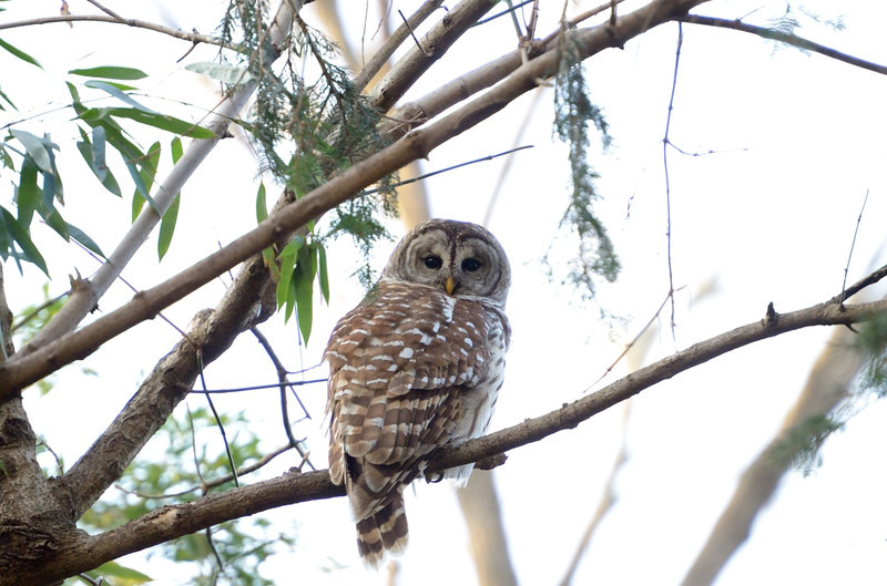 The neighborhood Barred owl<br /> <br /> Montgomery County, Maryland<br /> January 2012