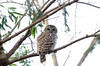 The neighborhood Barred owl<br /> <br /> Montgomery County, Maryland<br /> January 2012