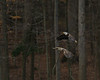 Bald Eagles, flying together<br /> <br /> Fairfax County, Virginia<br /> January 2012