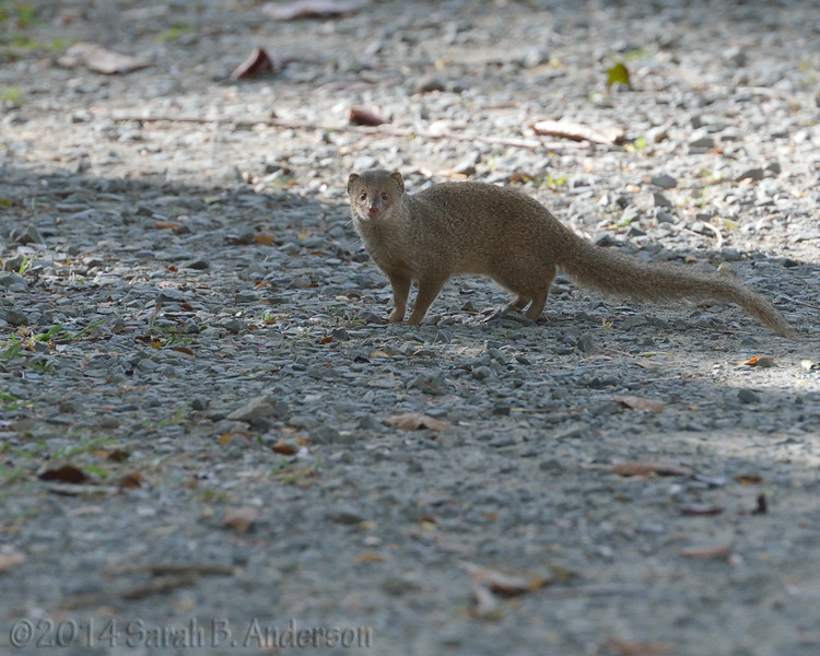 Mongoose, assessing<br /> St. John, USVI<br /> April 2014