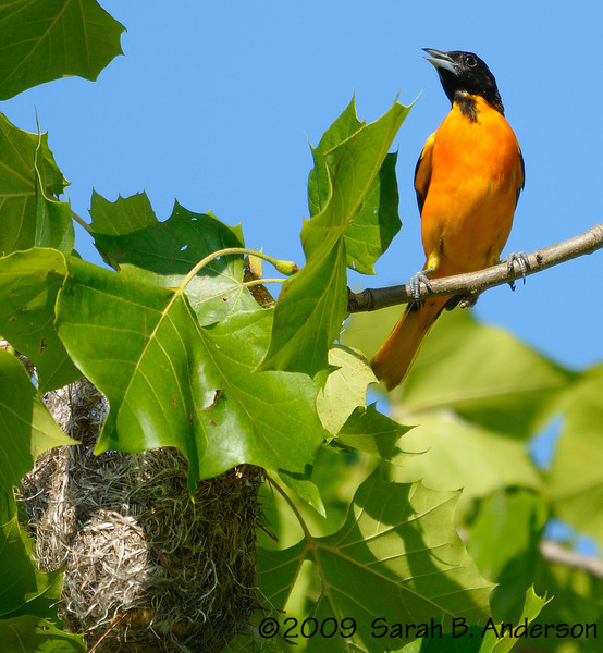 Baltimore Oriole father & nest<br /> <br /> Occoquan National Wildlife Refuge<br /> Fairfax County, Virginia<br /> June 2009