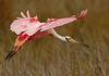 Roseate Spoonbill, fluttering in<br /> <br /> Merritt Island NWR, Florida<br /> December 2012