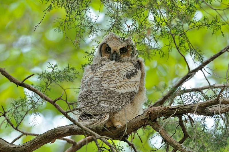 Great Horned owlet<br /> <br /> Fairfax County, Virginia<br /> April 2012
