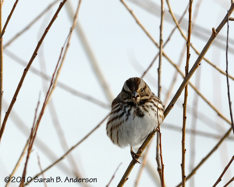 Song Sparrow talking to me<br /> <br /> Blackwater NWR<br /> Dorchester County, Maryland<br /> December 2010