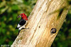 Red-headed Woodpecker with baby waiting for the food<br /> <br /> Hughes Hollow, Montgomery County, Maryland<br /> July 2009