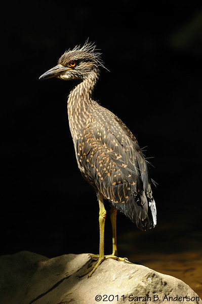 Recently fledged Yellow-crowned Night Heron<br /> Montgomery County, Maryland<br /> July 2011