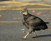 Black Vulture strolling through the parking lot<br /> <br /> Conowingo Dam, MD<br /> October 2012