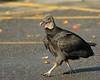 Black Vulture strolling through the parking lot<br /> <br /> Conowingo Dam, MD<br /> October 2012