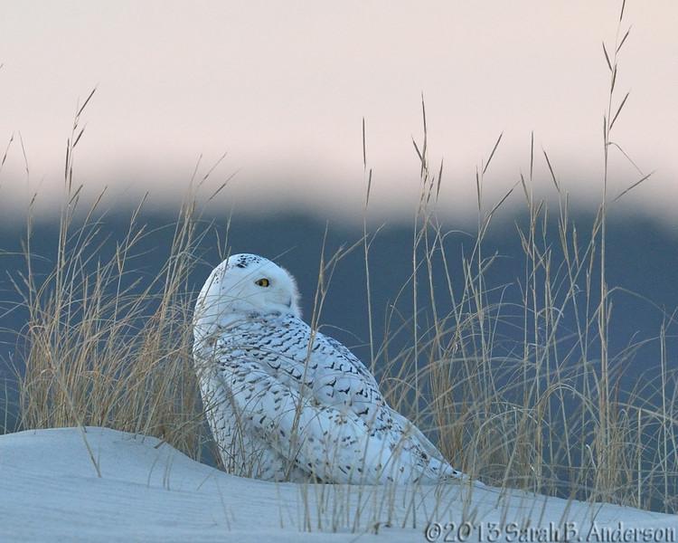 Snowy Owl near dusk