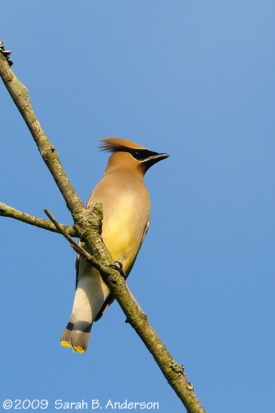 Cedar Waxwing knows it's cool<br /> <br /> Hughes Hollow, Montgomery County, Maryland<br /> July 2009