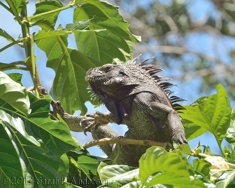 Iguana and its magnificent claws<br /> Cinnamon Bay Campground, St. John, USVI<br /> April 2014
