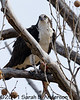Osprey (male?) and the bloody fish<br /> <br /> Occoquan NWR<br /> Woodbridge, VA<br /> March 2011