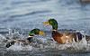 Duck fight (2nd photo in series)<br /> Cambridge, Dorchester County, MD<br /> December 2013