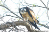 Osprey with remnants of fish<br /> Occoquan National Wildlife Refuge<br /> Virginia<br /> April 2009
