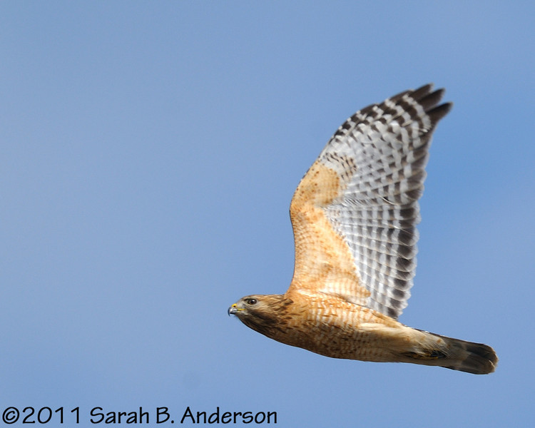 Red-shouldered Hawk<br /> <br /> Occoquan NWR, Virginia<br /> April 2011