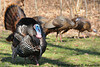 male Wild Turkey strutting for the females<br /> <br /> West Oshtemo, Kalamazoo County, Michigan<br /> April 2009