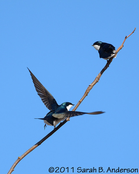 Tree Swallows<br /> <br /> Occoquan NWR, Virginia<br /> April 2011