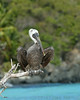 Brown Pelican<br /> St. John, USVI<br /> April 2014