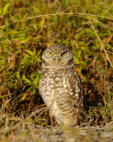 Burrowing Owl Portrait<br /> <br /> Cape Coral, Florida<br /> December 2012