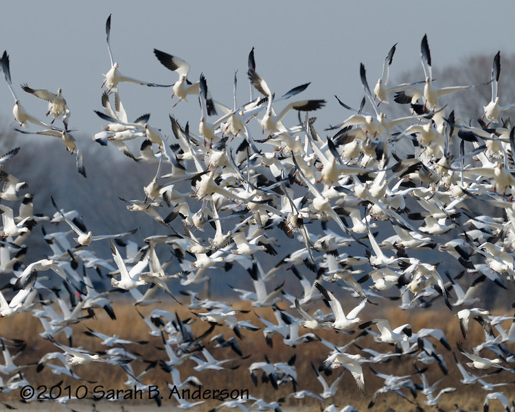 Snow geese banking in the turn<br /> HOW do they not crash into each other - it looks like complete chaos!<br /> <br /> <br /> Blackwater NWR<br /> Dorchester County, Maryland<br /> December 2010