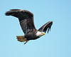 Bald Eagle with fish<br /> Conowingo Dam, Maryland<br /> <br /> November 2011