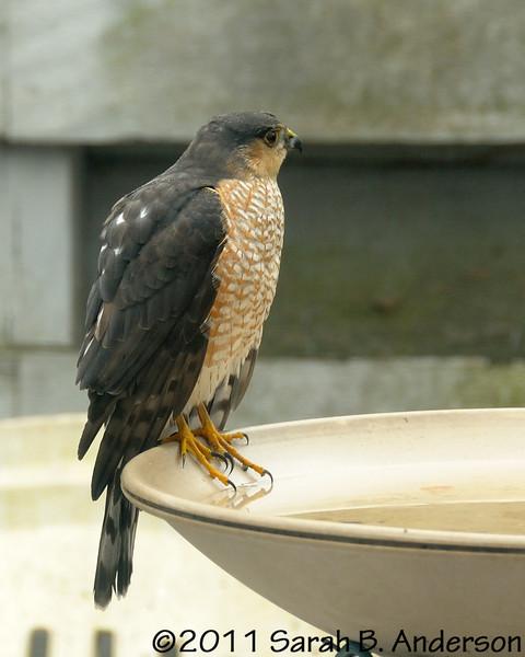Sharp-shinned (I think) hawk on the bird bath.<br /> <br /> Cabin John, Montgomery County, Maryland<br /> January 2011