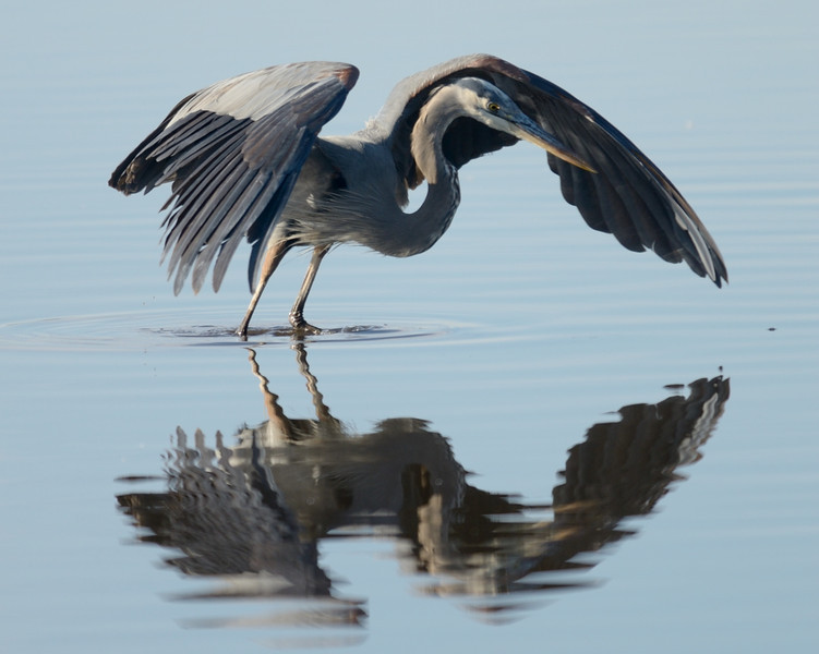 Great Blue Heron & reflection<br /> <br /> Blackwater NWR<br /> Dorchester County, Maryland<br /> <br /> January 2012