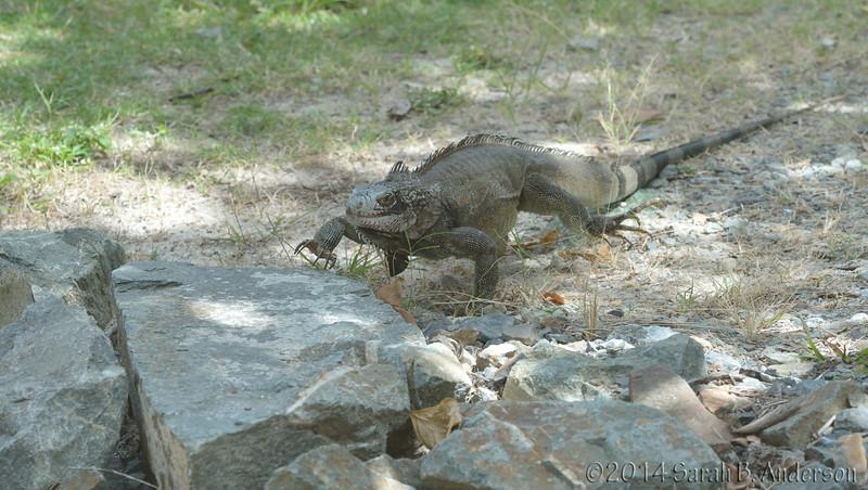 Iguana in the campground<br /> St. John, USVI<br /> April 2014