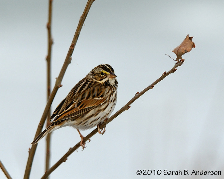Savannah Sparrow perching nicely in the sun<br /> <br /> <br /> Blackwater NWR<br /> Dorchester County, Maryland<br /> December 2010