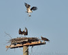 Osprey with nesting material not wanted at this platform