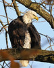 Early morning grooming<br /> Bald Eagle<br /> Conowingo Dam, Maryland<br /> <br /> November 2011