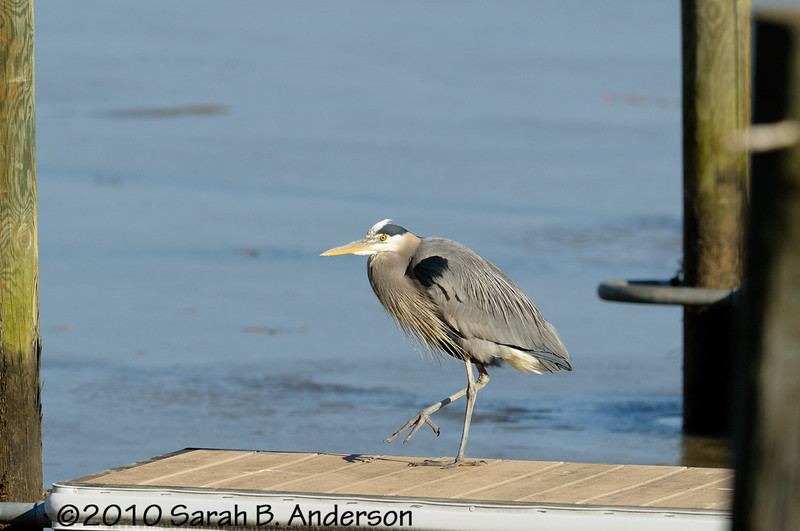 Great Blue Heron on the dock<br /> <br /> Pohick Bay Regional Park<br /> Fairfax County, Virginia<br /> December 2010