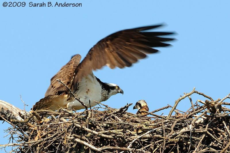 Osprey & chick<br /> <br /> Occoquan National Wildlife Refuge<br /> Fairfax County, Virginia<br /> June 2009