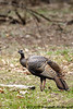 Wild Turkey<br /> <br /> West Oshtemo, Kalamazoo County, Michigan<br /> April 2009