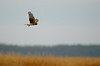 Northern Harrier<br /> Shorters Wharf Rd, Maryland<br /> <br /> December 2011