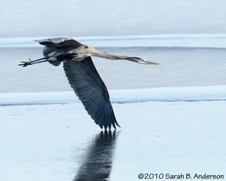 Great Blue Heron banking like a short track speed skater<br /> <br /> <br /> Blackwater NWR<br /> Dorchester County, Maryland<br /> December 2010