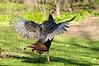 strrrrrrrrretch!<br /> (Wild Turkey)<br /> <br /> Kalamazoo County, Michigan<br /> April 2011