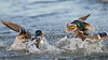 Duck fight (3rd photo in series)<br /> Cambridge, Dorchester County, MD<br /> December 2013