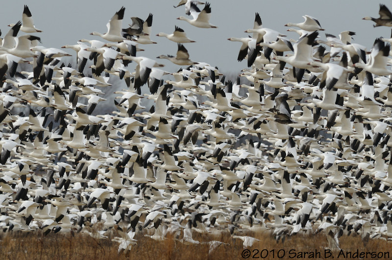 Snow geese take off<br /> <br /> <br /> Blackwater NWR<br /> Dorchester County, Maryland<br /> December 2010
