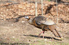 Wild Turkey hen<br /> <br /> West Oshtemo, Kalamazoo County, Michigan<br /> April 2009