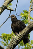 Black Vulture<br /> <br /> Great Falls National Park<br /> Fairfax County, Virginia<br /> April 2010