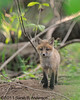Fox kit ... so adorable<br /> <br /> C&O Canal<br /> Montgomery County, Maryland<br /> May 2011