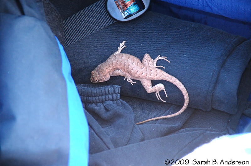 Stowaway!  (almost)  <br /> This little critter found a nice warm(ish) place to snooze.  As soon as we put it in the sun he warmed up and scrambled away.  REALLY glad we didn't inadvertently bring it back to Maryland!<br /> <br /> near Moab, Utah<br /> April 2009