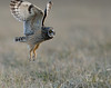 Short-eared owl takes off